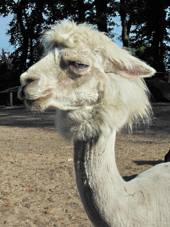 Alpaca - Alpaca in het zonnetje. <br /> Super leuke beesten om te zien.