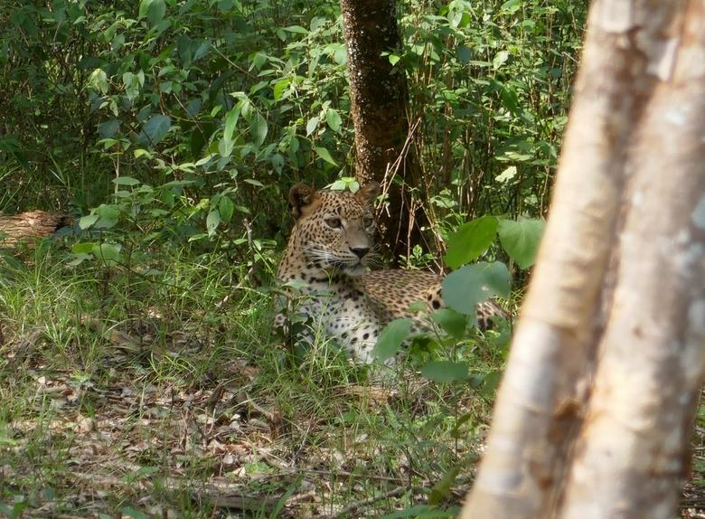 Luipaard Sri Lanka - de mazzel gehad om een uur naar 2 luipaarden te mogen kijken die vlakbij onze jeep aan het luieren waren