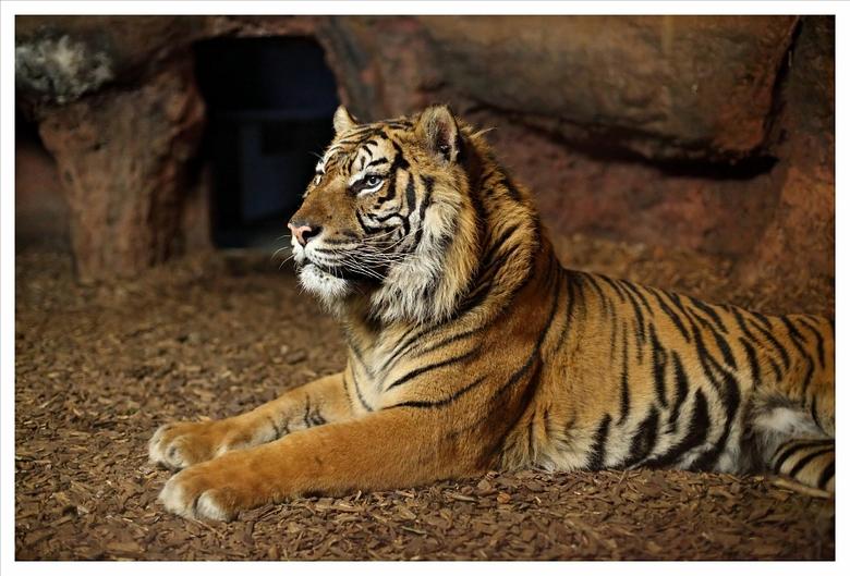 Tijgertje - Iedereen die wel eens in diergaarde Blijdorp is geweest weet hoe donker het is in de binnenverblijven van de tijgers.<br /> Gelukkig had