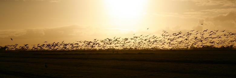 Ganzenvlucht - Ganzen stijgen op in een polder tussen Uitdam en Zuiderwoude.