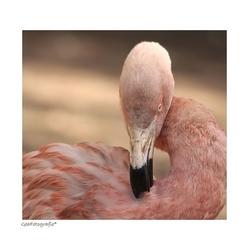 Dance the Flamingo *