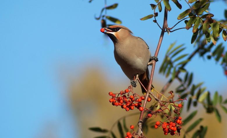 Pestvogel - maar weer eens even een pestvogel.<br /> omdat ze zo mooi zijn.<br /> bedankt voor jullie mooie reacties gr marian<br />