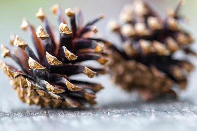 Dennenappel - Dennenappels gefotografeerd in een bos