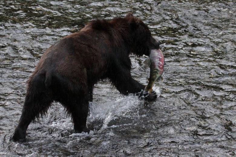 Grizzly Beer met Zalm - Er is een plek in Alaska, vlak over de grens met Canada, waar je een fantastische mogelijkheid hebt om in de maand augustus de