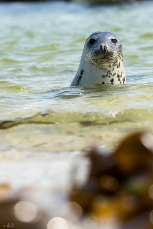 Helgoland-Düne - Op het eiland Düne bij Helgoland zeehonden gefotografeerd. Deze hield echt van poseren..
