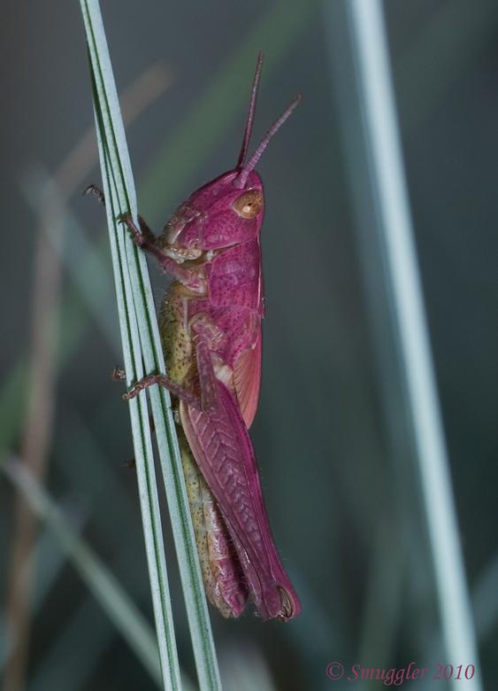 Purple grasshopper - Tot m&#039;n verbazing vanavond deze sprinkhaan aangetroffen in m&#039;n voortuin.<br /> Iemand een idee welke dit is?<br /> Gr