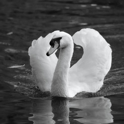 zwart wit zwaan