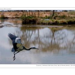 Black-Headed Heron II