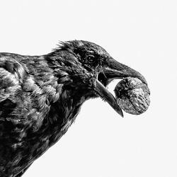 Crow with walnut