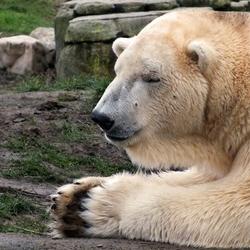 ijsbeer in gebed?