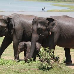 Olifant met een klein olifantje van een week oud