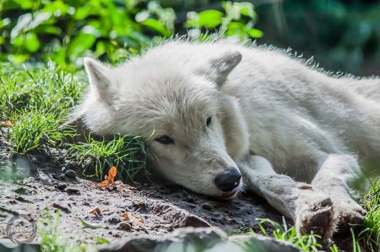 White wolf -