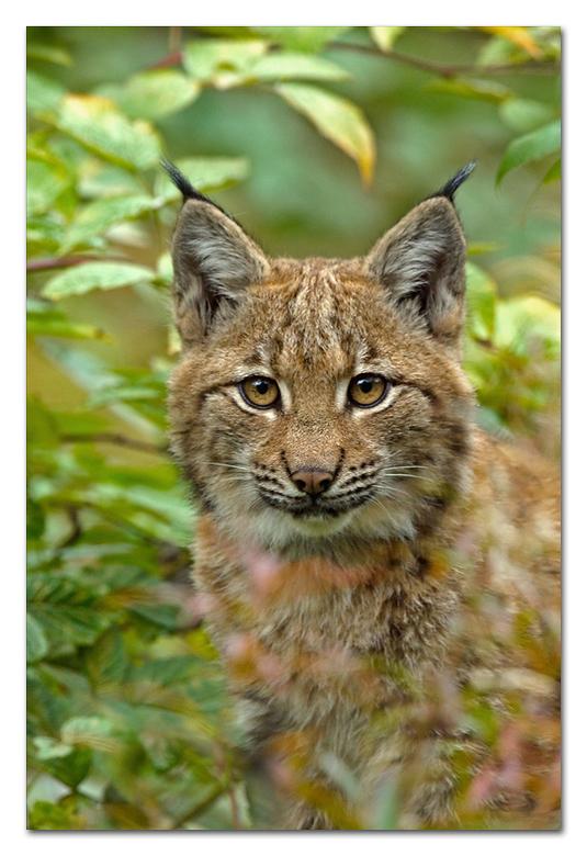 Portret Lynx