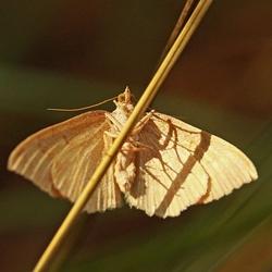 IMG_4427---Vlinder--Motje