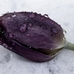 Tulp met druppels.