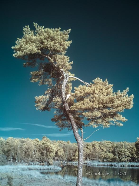 Bonsai Tree? - Bomen en natuur zijn erg gaaf om in valse kleuren infrarood te fotograferen. Ik gebruik hiervoor een aangepaste lumix MFT camera en een