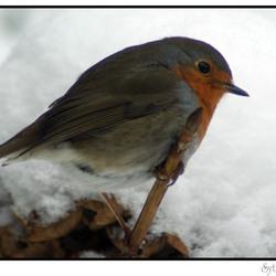 roodborstje in sneeuw