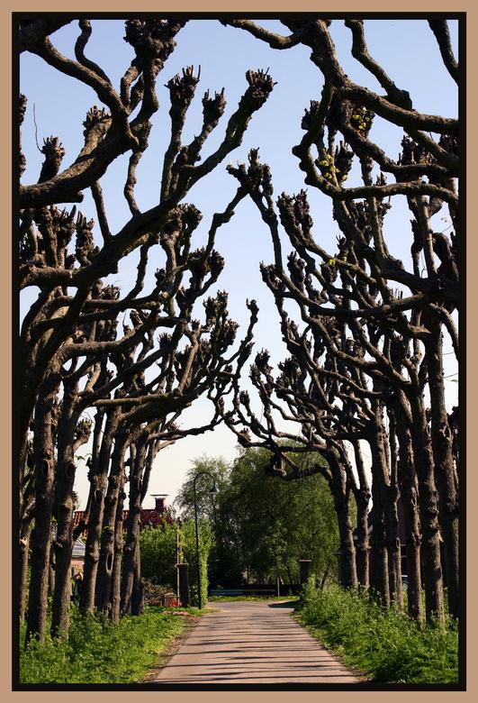 Kronkels - Deze aparte bomenrij ben ik tegengekomen in Lellens (prov. Groningen) toen ik op fotopad was. Vond het zo bijzonder dat ik ze ook op zoom w