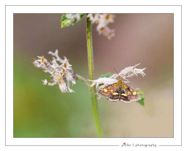 Muntvlinder - Het muntvlindertje (Pyrausta aurata) is een dagactieve nachtvlinder uit de familie Crambidae, de grasmotten. De muntvlinder lijkt veel o