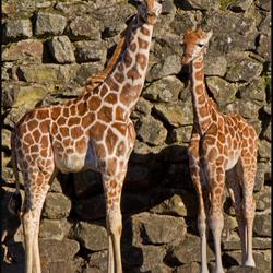 2 jonge giraffen