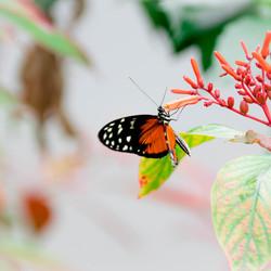 Tropische vlinder Mangrove Arnhem