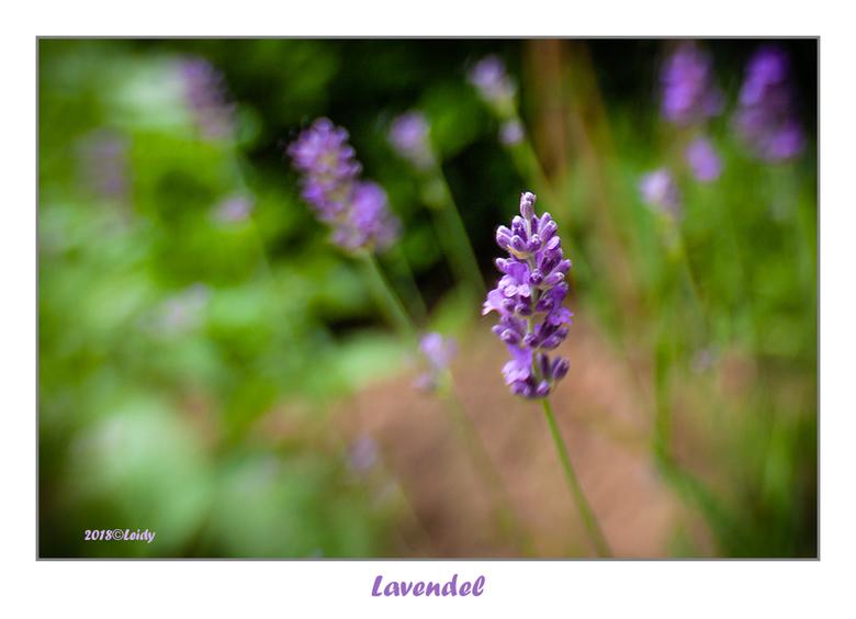 Lavendel - Lavendel, Lensbaby Composer Pro, 35 mm, f/2.8