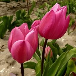 Tulpenroute 2012.