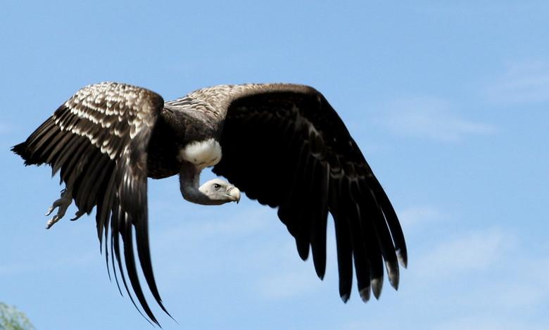 gier - foto gemaakt tijdens bezoek aan avifauna<br />