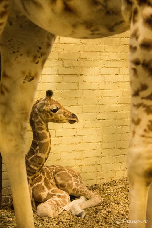 girafje een dag oud