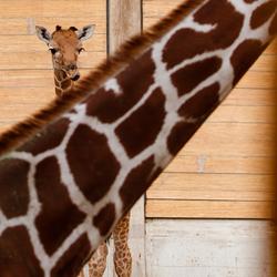 Jonge giraffe in Blijdorp