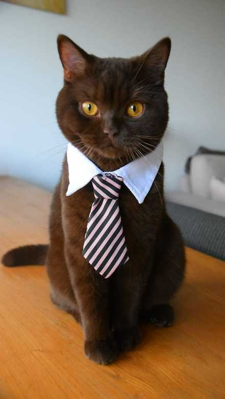 Just a cat with a tie -