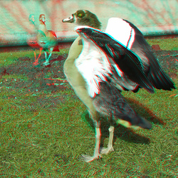 Nijlgans Oosterflank Rotterdam 3D anaglyph