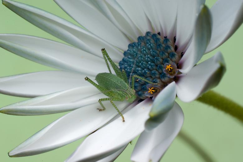 Lazy on the spanish daisy - Sprinkhaantje liet zich uitgebreid fotograferen op dit spaanse margrietje.<br />