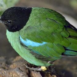 Mangrove vogel