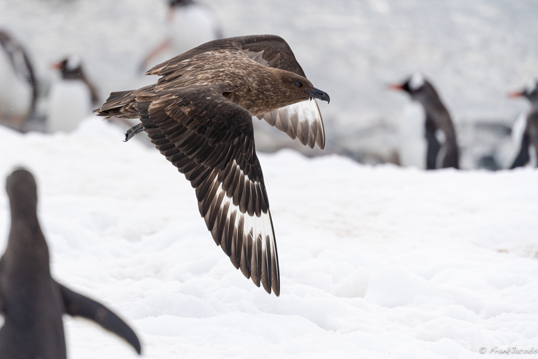 Subantarctische Grote Jager - Vijand van de Pinguïns