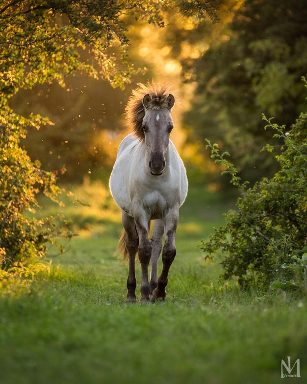 Wildhorse  - Konikspaarden in het wild hebben geen verzorging nodig en kunnen het hele jaar buiten blijven. Ze worden ingezet voor begrazing van natuu