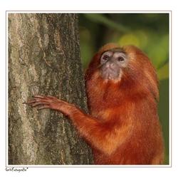 Golden monkey *