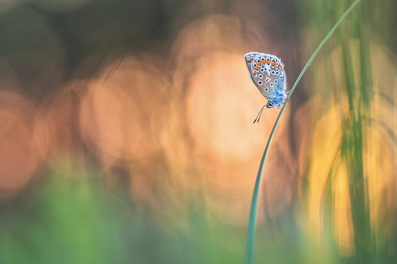 sunset - Op een plek waar ik graag kom vliegen de blauwtjes talrijk. Het blijven leuke vlinders om te fotograferen. Deze heb ik 's avonds rond zo