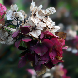 Hortensia in de herfst