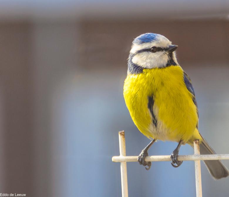pimpelmees - Ook dit jaar maken deze pimpelmezen gebruik van de nestkast op ons balkon. Door foto's van vorig jaar weet ik zeker dat dit hetzelfd