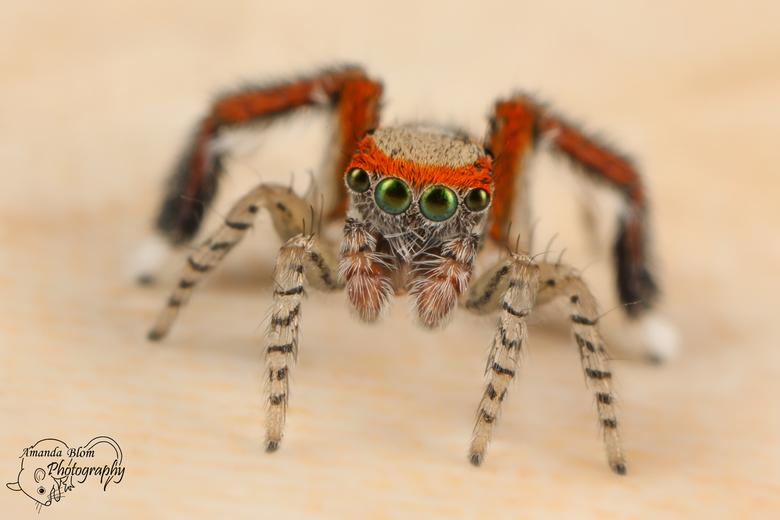 Saitis barbipes - Wat ben ik weer ongelooflijk blij en enthousiast!<br /> <br /> Mijn vriend zag een spinnetje op de muur lopen bij ons in huis.<br