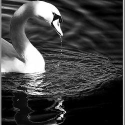 ZWAAN in zwart wit 2