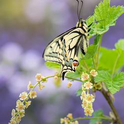 Koninginnepage of Papilio machaon