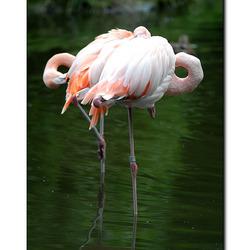Flamingo's in de Zoo