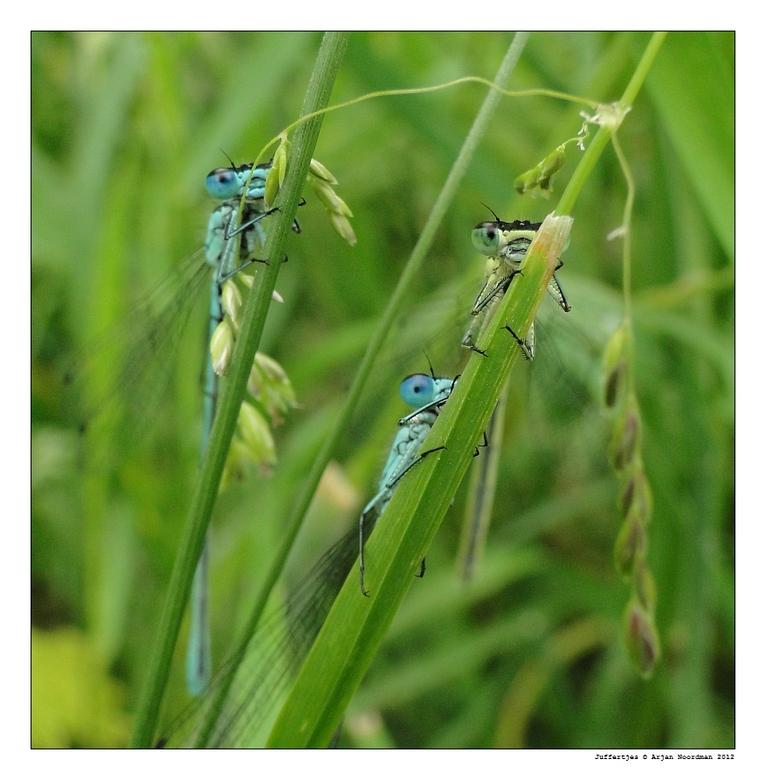 3 Juffertjes / Lantaarntjes Frontaal - 3 Juffertjes. Grappige insecten om te zien. Proberen zichzelf altijd te verstoppen achter een sprietje, maar de