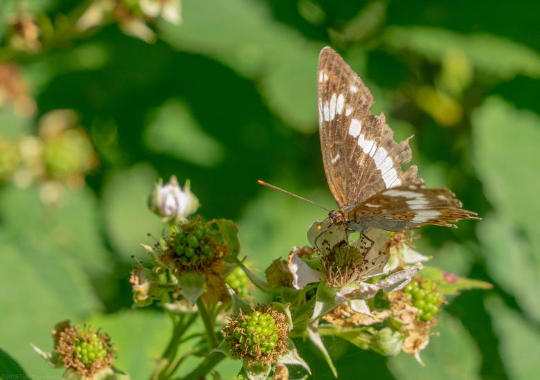 Vlinder - De kleine ijsvogelvlinder is maar kort in Nederland.<br /> Nu even genieten op deze braam.