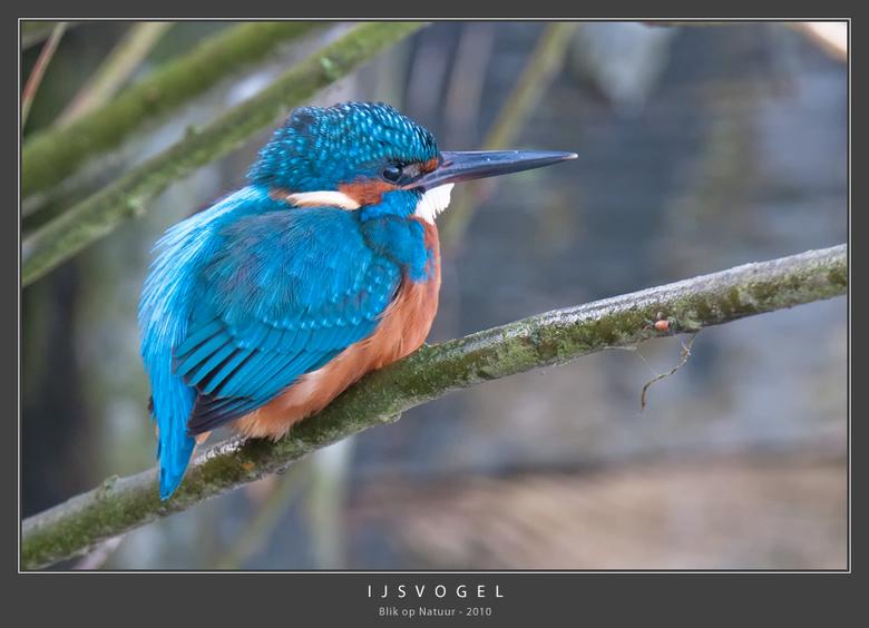 IJsvogel - Wat: IJsvogel (Alcedo Atthis), stilstaand en stromend, helder en visrijk water met steile oevers in bossige of halfopen omgeving.<br /> <b