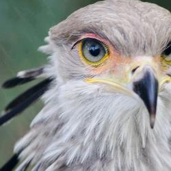 Close up secretarisvogel