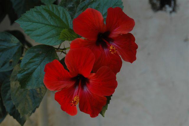 Hybiscus - Hybiscus<br /> <br /> De hybiscus is een rijk bloeiende heester die erg van zon houdt vermeerderen gaat heel gemakkelijk doordat de plant