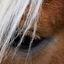Paarde oog